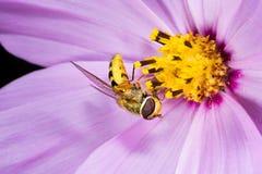Mouche de fleur Macro Images libres de droits