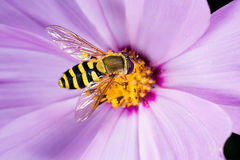 Mouche de fleur Macro Photo stock