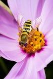 Mouche de fleur Macro Photographie stock libre de droits
