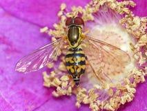 Mouche de fleur sur Rose sauvage (topview) Photographie stock