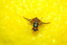 Mouche de FruitFruit sur le citron photographie stock