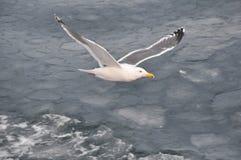 Mouche de mouette au-dessus de la mer Photos libres de droits