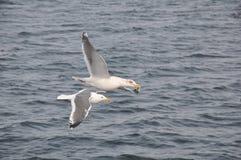 Mouche de mouette au-dessus de la mer Image libre de droits