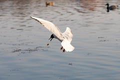 Mouche de mouette au-dessus de l'eau image libre de droits