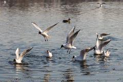 Mouche de mouette au-dessus de l'eau photo libre de droits