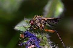 Mouche de pollinisateur images stock