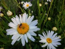 Mouche de regard impaire avec un bout rouge avec les points noirs rassemblant le nectar et le pollen de la marguerite blanche et  Photos stock
