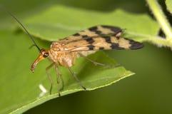 Mouche de scorpion Image libre de droits