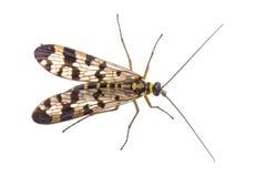 Mouche de scorpion de famille Panorpidae sur le fond blanc Photographie stock