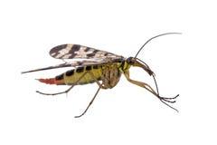 Mouche de scorpion sur le fond blanc photo stock
