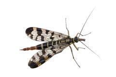 Mouche de scorpion sur le fond blanc Image stock