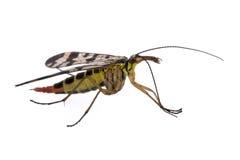 Mouche de scorpion sur le fond blanc photographie stock libre de droits