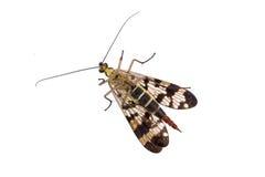 Mouche de scorpion sur le fond blanc Photographie stock