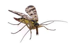 Mouche de scorpion sur le fond blanc Photos libres de droits