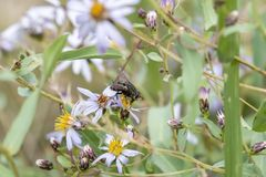 Mouche de Tachinid étée perché sur des Wildflowers dans un pré alpin dans Colora Images stock