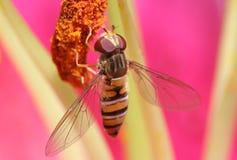 Mouche de vol plané avec les ailes détaillées Photographie stock
