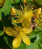 Mouche de vol plané sur la fleur jaune Photos libres de droits