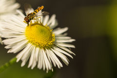 Mouche de vol plané sur une fleur Photographie stock libre de droits