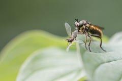 Mouche de voleur alimentant sur une autre mouche Image libre de droits