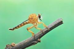 Mouche de voleur, nature d'insecte, naturelle Photo stock