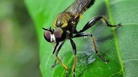 Mouche de voleur sur des feuilles dans la forêt tropicale tropicale banque de vidéos