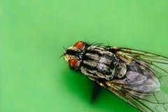 Mouche domestique ou domestica domestique de Musca de mouche avec fin extrême de macro de deux la grande yeux composés vers le ha Photo stock
