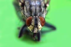 Mouche domestique ou domestica domestique de Musca de mouche avec fin extrême de macro de deux la grande yeux composés vers le ha Photo libre de droits