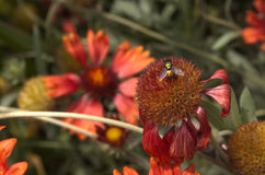 Mouche en fleur de helenium Photos stock