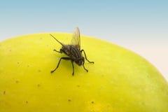 Mouche et fruit photos stock