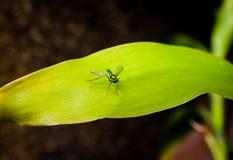 Mouche Longlegged sur une feuille verte Image libre de droits