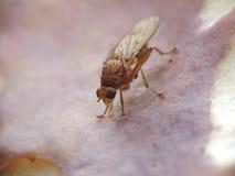 Mouche mangeant à l'intérieur d'un champignon Image stock
