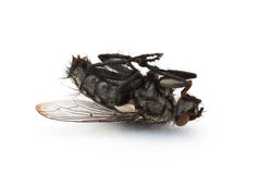 Mouche morte Photo stock