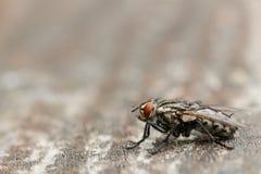 Mouche noire avec les yeux oranges se reposant sur la surface en bois Photographie stock