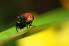 Mouche observée par rouge Image libre de droits