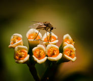 Mouche reposant sur des fleurs Images libres de droits