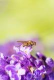 Mouche se reposant sur une fleur de couleur de lavande Photo stock