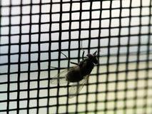 Mouche sur l'écran de fil de moustique Images libres de droits