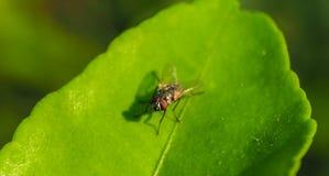 Mouche sur la feuille verte Image stock