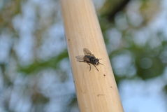 Mouche sur le bâton en bois Photos stock
