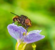 Mouche sur le plan rapproché de fleur image libre de droits
