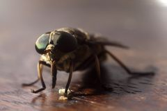 Mouche sur le sruface brun en bois - rapport optique extrême image stock
