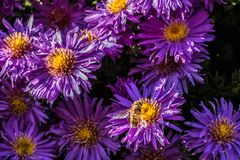 Mouche sur les fleurs violettes photographie stock
