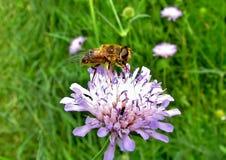 Mouche sur une fleur Photos stock