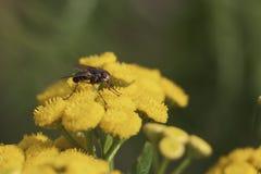 Mouche sur une fleur Image stock