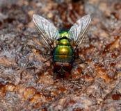 Mouche verte - albiceps de Chrysomya Image libre de droits