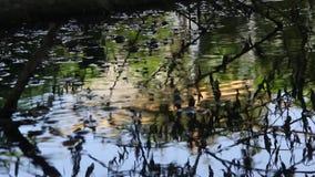 Mouches du genre course tombée par Hydrophorus sur l'eau clips vidéos