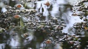 Mouches du genre course tombée par Hydrophorus sur l'eau banque de vidéos