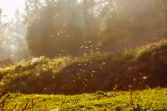 Mouches et moustiques au-dessus de champ dans le contre-jour d'égaliser le soleil photographie stock libre de droits