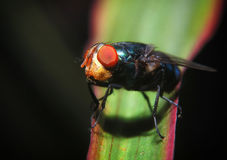 Mouches se tenant sur la feuille verte rouge images libres de droits