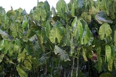 Moucou-moucous plant, French Guiana Royalty Free Stock Photography